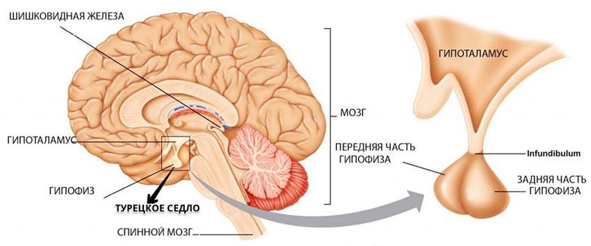 расположение гипофиза и турецкого седла в головном мозге