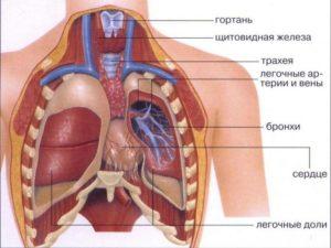 схема органов грудной клетки