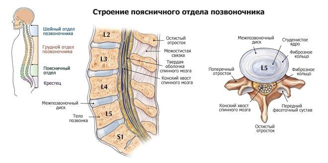 Подробное строение спины