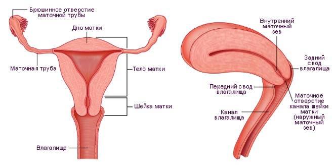 Внутренняя структура женских органов