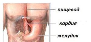 Строение органов